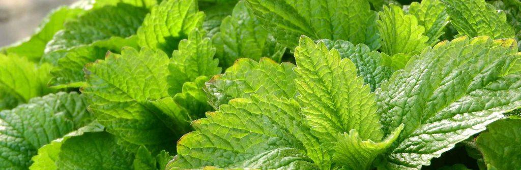 Medovka lekárska: Použitie rastliny, pozitívne aj nežiaduce účinky a obsahové látky