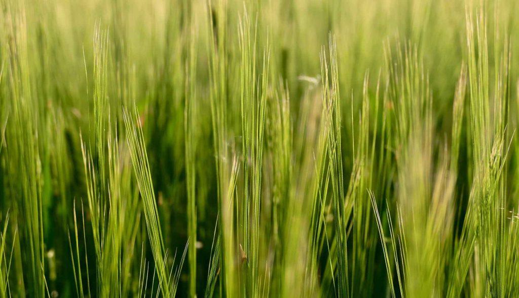 Zelený jačmeň: Jeho účinky, skúsenosti s ním, nežiaduce účinky a ktorý je najlepší