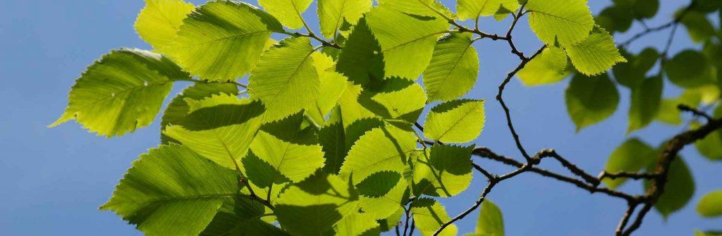 Brest: Jeho účinky na trávenie a iné oblasti, použitie ako čaj aj na obklad a dávkovanie